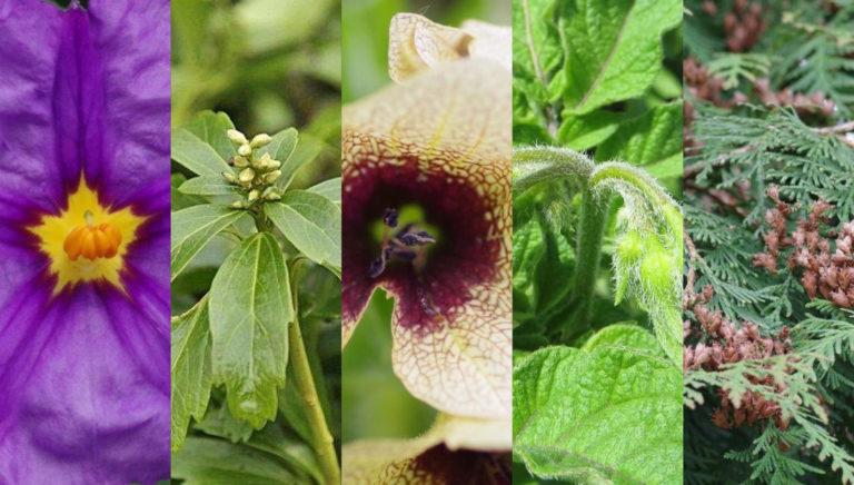 Mitmachen bei der Wahl der Giftpflanze des Jahres 2022